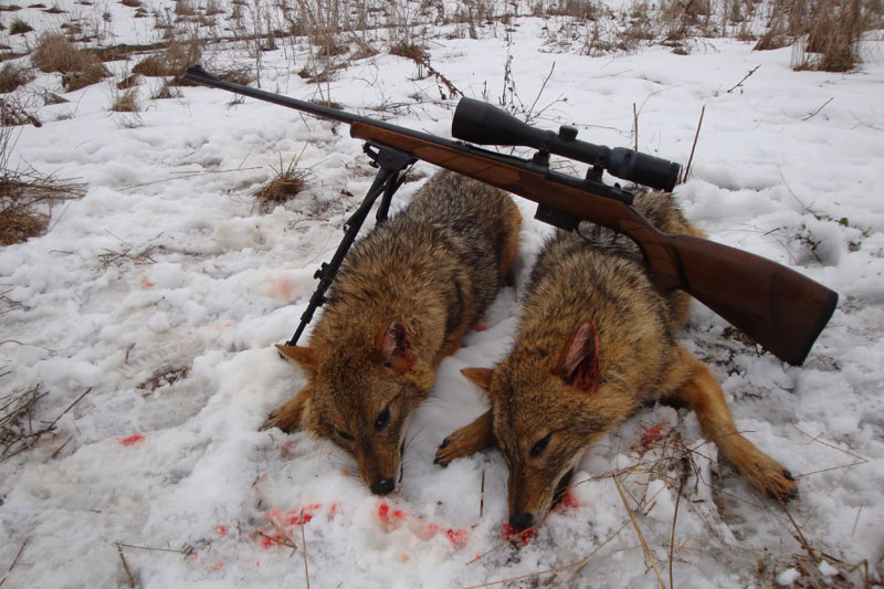 wolf hunting  in Bulgaria