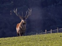 Red_Deer_Stag_1-400x267
