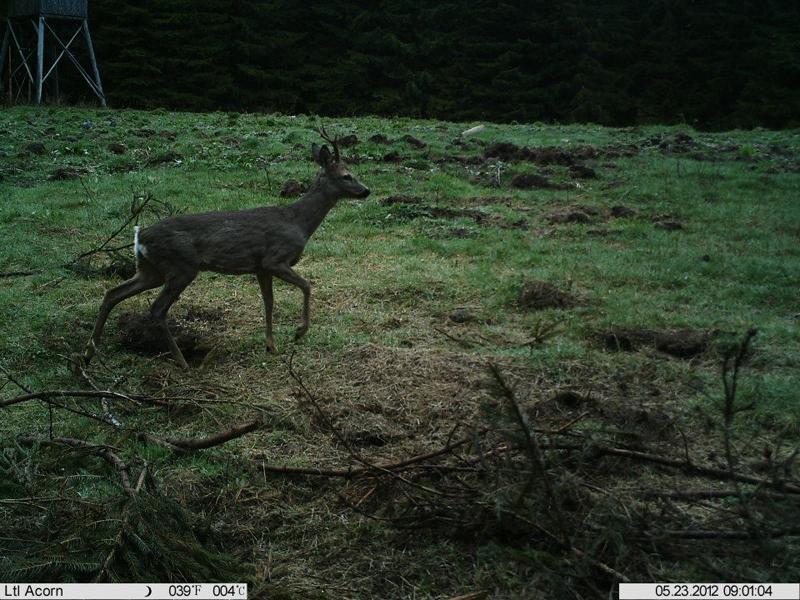 roe_deer_stalking_Ledenika13