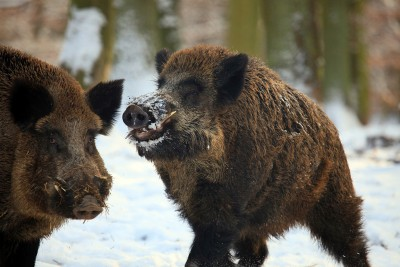 Wild boar hunting in Bulgaria