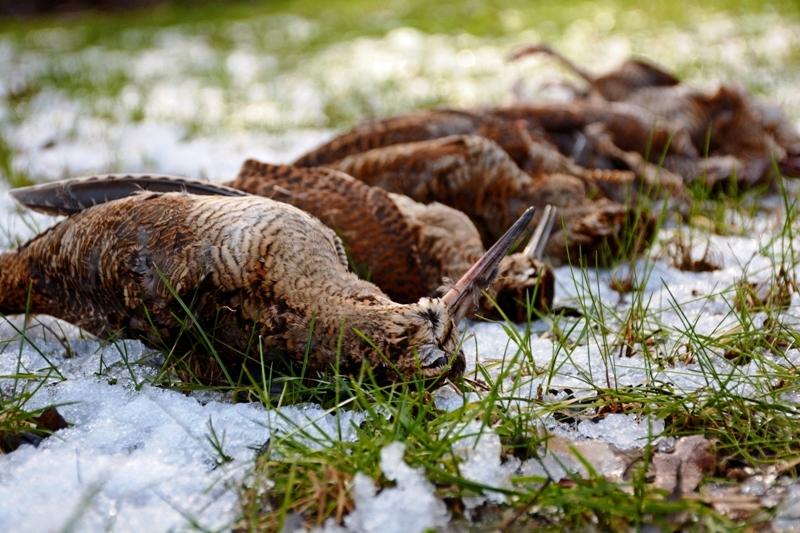 woodcock_bulgaria