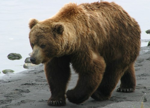 Brown bear hunting in Bulgaria