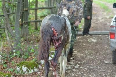 wolf_hunting_bulgaria_7