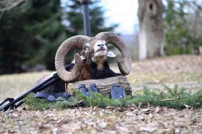 mouflon_bulgaria
