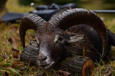 mouflon_bulgaria_3