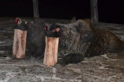 wild_boar_bulgaria_2