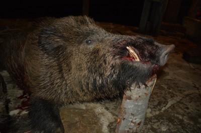 wild_boar_bulgaria_3
