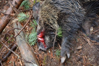 wild_boar_driven_hunting_bulgaria_3