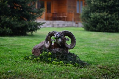 mouflon_hunting_in_Bulgaria12