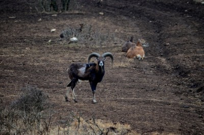 mouflon_hunting_in_Bulgaria13